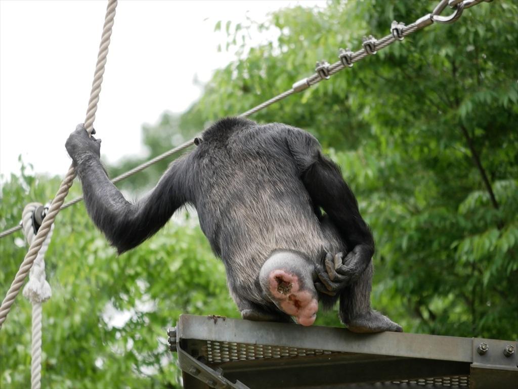 チンパンジー_12