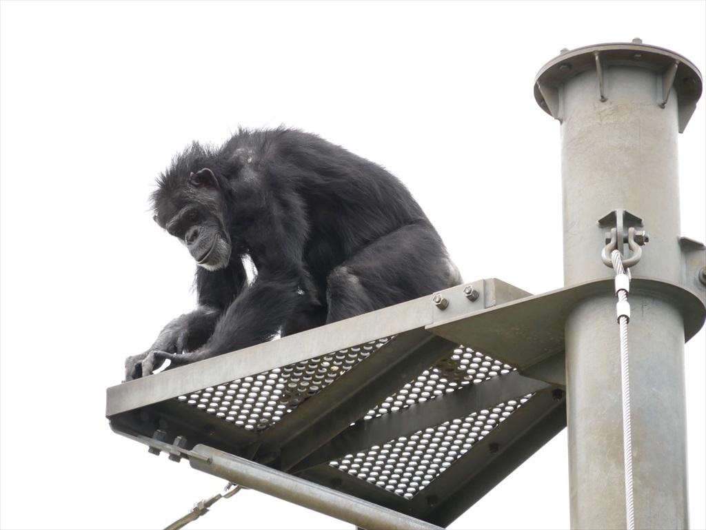 チンパンジー_13