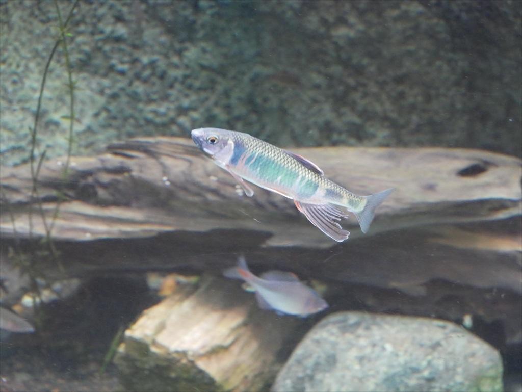 日本の渓流魚_12