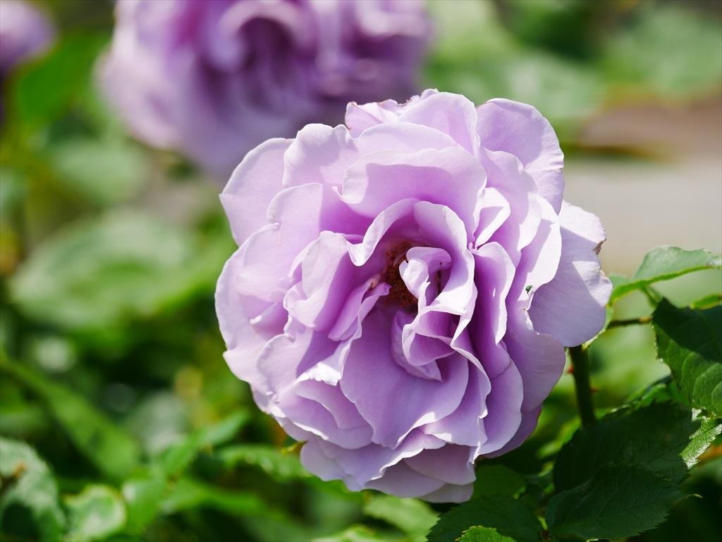 綺麗なバラを愛でる_16
