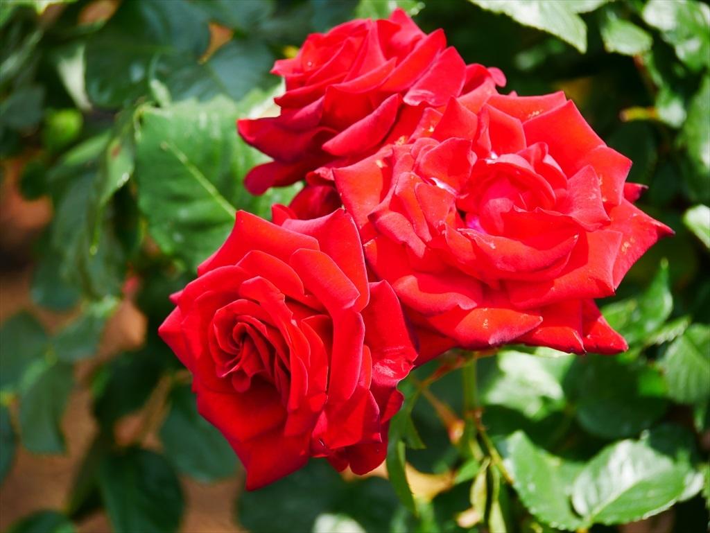 綺麗なバラを愛でる_13