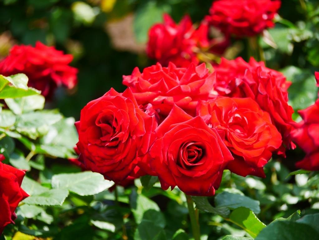 綺麗なバラを愛でる_14