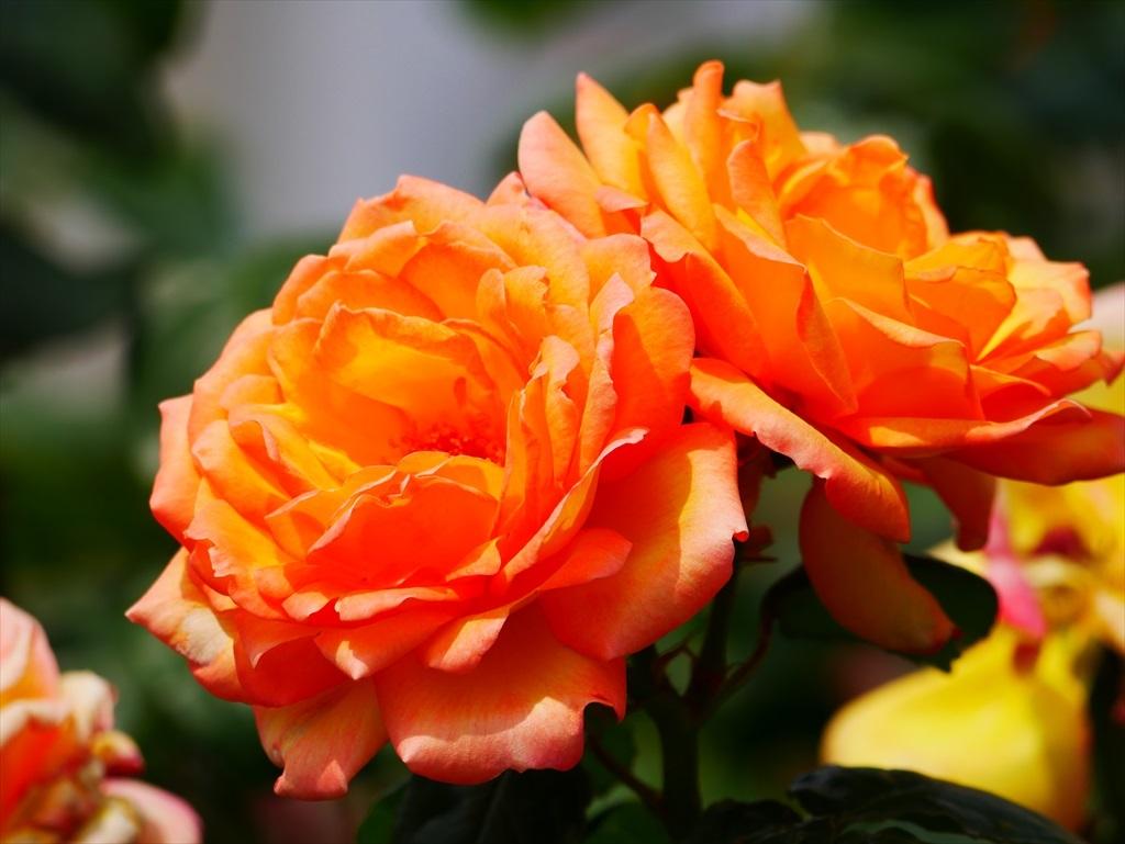 綺麗なバラを愛でる_15