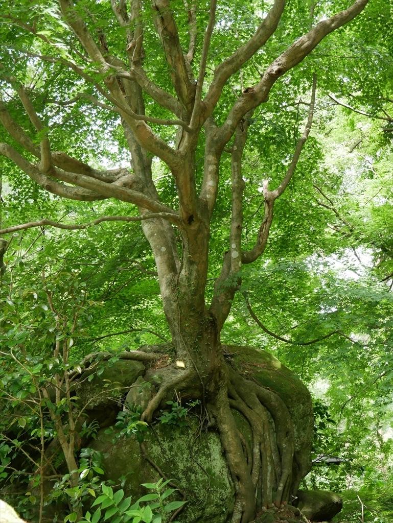 面白い樹木も