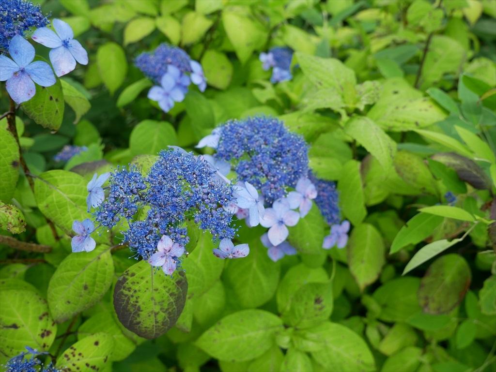 紫陽花の仲間_1