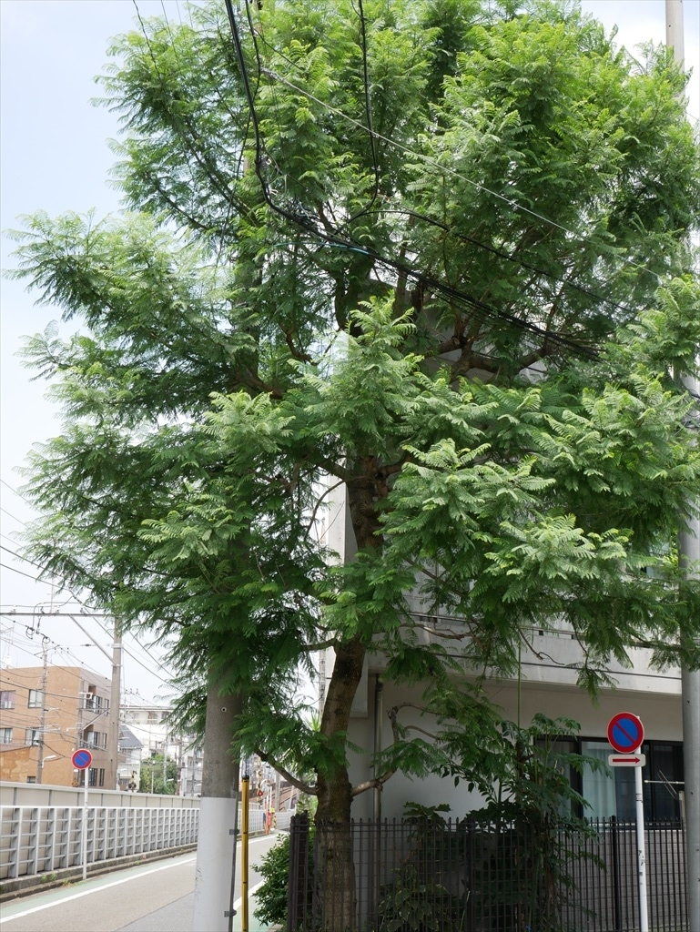 ねむの木公園のねむの木_4_ジャカランダの木