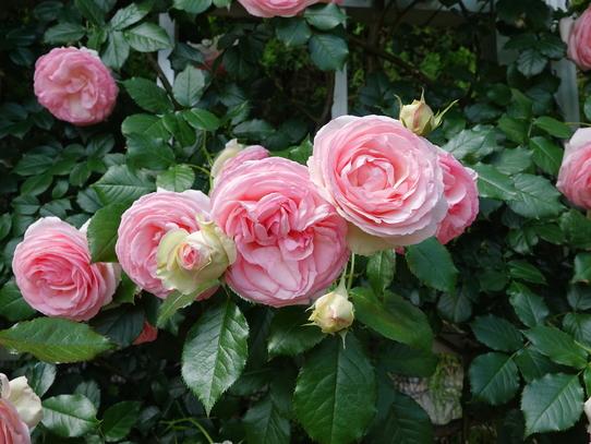 rosepark12.jpg