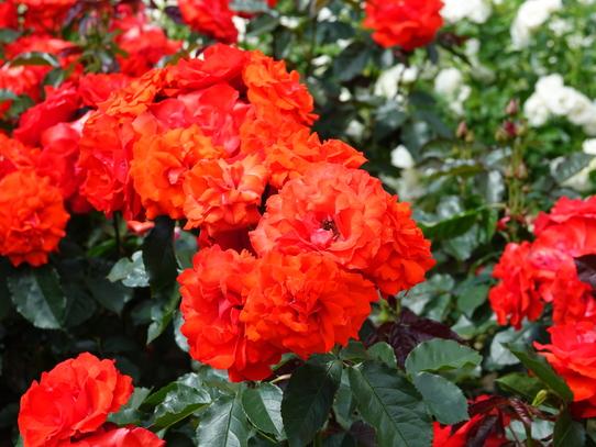 rosepark15.jpg