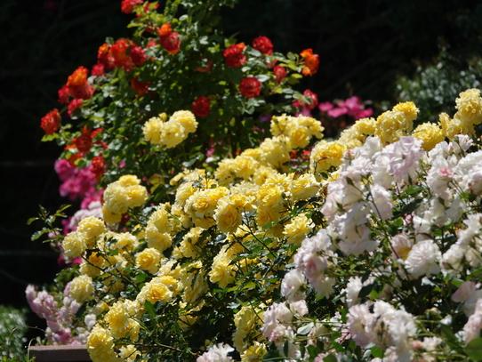 rosepark25.jpg