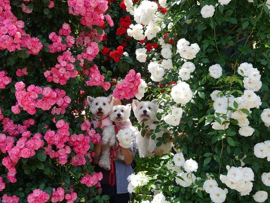 rosepark29.jpg