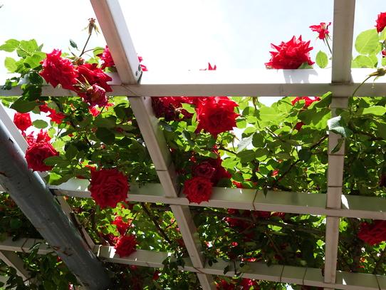rosepark31.jpg