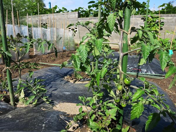黒マルチのトマト