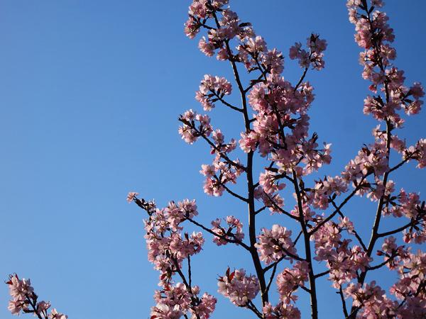 蝦夷山桜 朝 咲き始めた