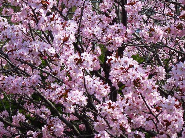 蝦夷山桜 満開