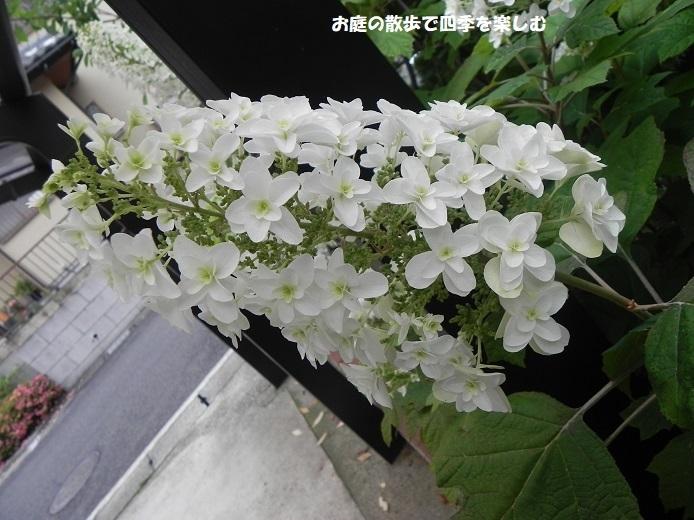 kasiwabaajisai18_201806300944148ae.jpg