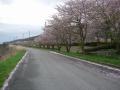 180407宇曽川沿いの桜並木を見ながら進む