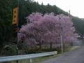 180414大布施分岐から西進、国道477沿いの桜