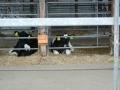 180526下山の牛舎の仔牛