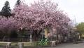 180414本当に久しぶりの黒田百年桜