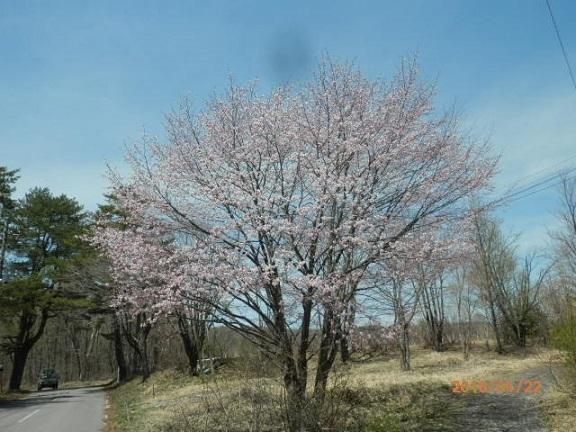 バラギ高原キャンプ場の桜