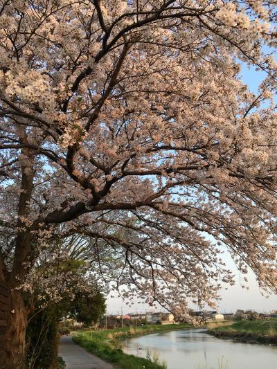 ブログ0407 桜