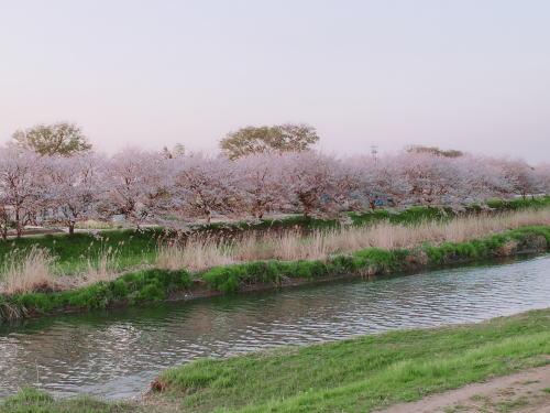 ブログ0407桜1