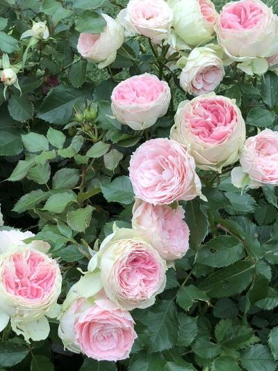 ブログ18国バラYokoAbe1