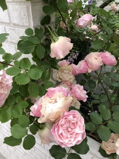 ブログ18国バラ YokoAbe10