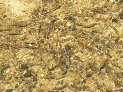琵琶湖から川に遡上したアユの群れ