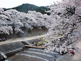 満開になった鮎河千本桜