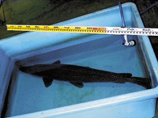 名古屋大学東山キャンパス内の池で捕獲されたアリゲーターガー