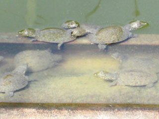 養殖池のスッポン