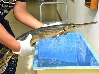 岐阜県の境川で捕獲されたショートノーズガー