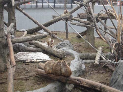 円山動物園サル山