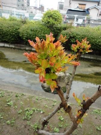 サルスベリの新芽