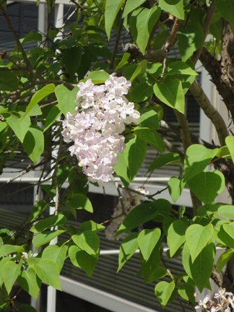 今日の花①ライラック