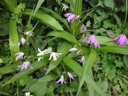 全色咲いた紫蘭⑭
