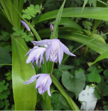 青っぽい紫蘭⑬