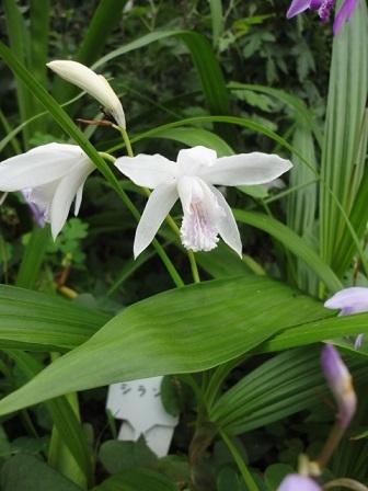 白花紫蘭⑫