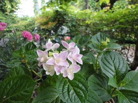 今年の紫陽花⑤