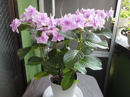 去年の紫陽花③