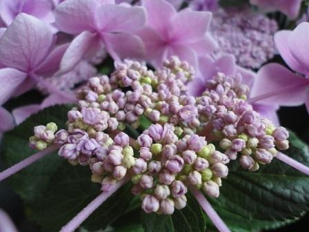 去年の紫陽花②