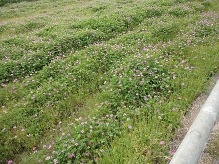 レンゲ畑①
