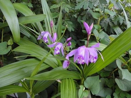 我が家の紫蘭