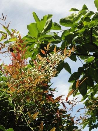 南天のつぼみと富有柿の葉っぱ