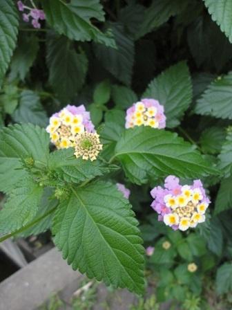今日の花壇③