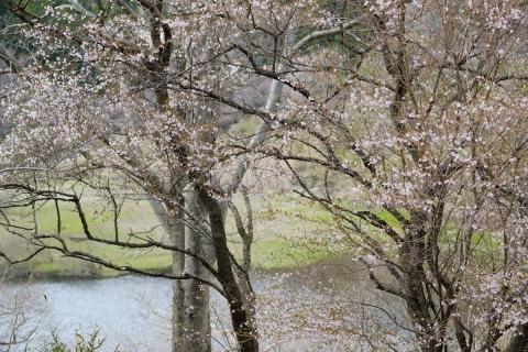 16お玉が池桜
