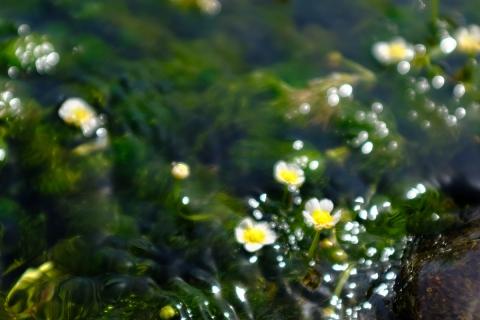 21三島梅花藻の里