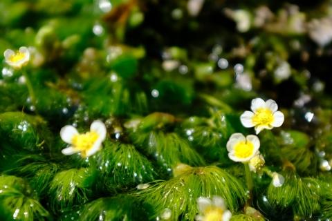 23三島梅花藻の里