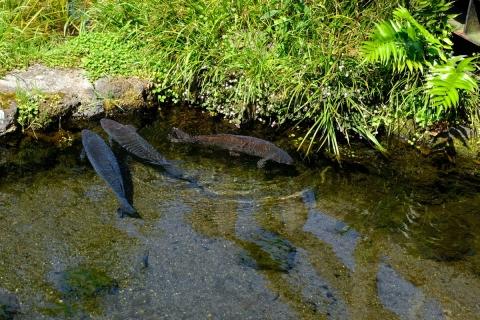 24三島梅花藻の里鯉